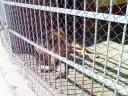 lion-zoo.JPG
